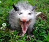 the patagonian opossum