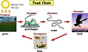what is a food web and a food chain