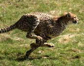 a cheetah doing a quick turn