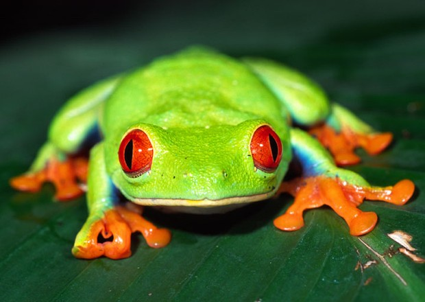 All about red eyed tree frogs!!!   Smore