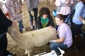 Ultrasounding sheep @ Shanks Genetics