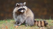http://kids.nationalgeographic.com/animals/raccoon/