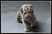 How can we save the White Tiger