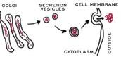 Golgi Apparatus