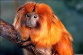 What is a Tamarin?