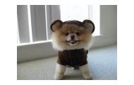 "Boo ""the worlds cutest dog"""