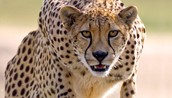 The Cheetah: Acinonyx Jubatos (It's Scientific Name)