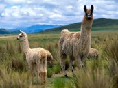 Llamas living among others
