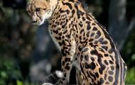 Beautiful Bess the Cheetah!