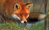 How Did Red Foxes Get to the U.S. ?