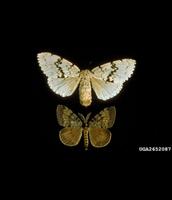 male and female Gypsy Moths