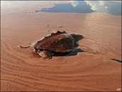 A turtle getting caught in a oil spill