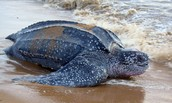 Leatherback Sea Turtles