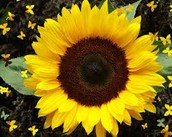 1 large sunflower