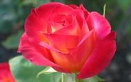 www.simplyrosegardening.com