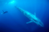 A person swim with a blue whale
