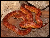 History of Rat Snakes