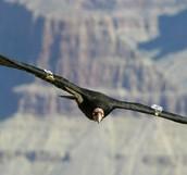The Condor's Habitat