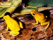 The Golden Poison Dart Frog