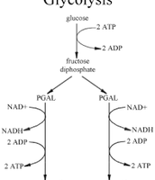 The Glycolysis Cycle (the break down of glucose)