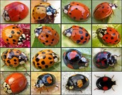 Multiple Asian Ladybugs