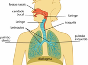 Anatomia - órgãos e funções