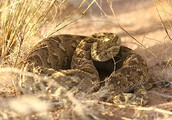 Morocco- Puff Adder Snake