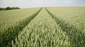 Mono-cropping GM crops to feed the Population
