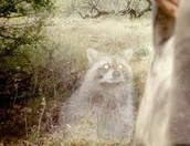 ghost coon