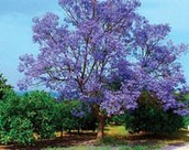 Flamboyant Trees