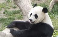 Panda Taking A Rest