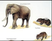 How hyraxes come to be Elephants