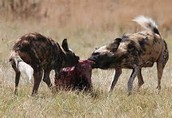 African Wild Dogs Eating