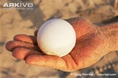 the leatherback turtle egg