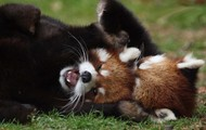 Red Pandas Playing