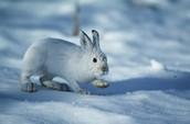 The Snowshoe Rabbit