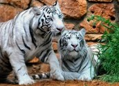 Here are some white tigers. WHite tigers are really pretty!