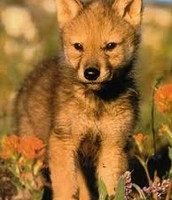 How many Red Wolves remain in the world?