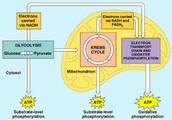 Aerobic Cellular Respiration