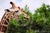 What do Gorilla Giraffe's eat and drink