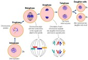 The Mitosis (Phases)