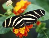 Full Grown Zebra Butterfly