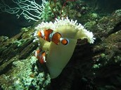 Clown fish swims around coral reefs for protection.