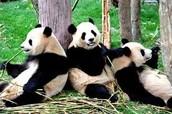 China's Panda bears!