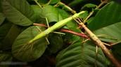 Larvae Walking stick