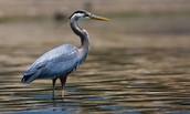 http://www.chesapeakebay.net/fieldguide/critter/great_blue_heron