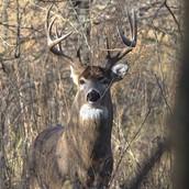 buck [male]