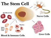 The Stem Cell