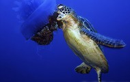 Sea turtle eating jelly fish
