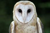 Barn Owl-Joey